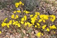 Camissonia brevipes