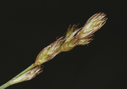 Carex praegracilis