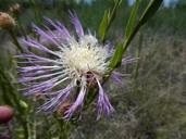 Centaurea americana