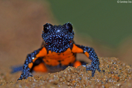Black Microhylid Frog