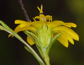 Deinandra fasciculata