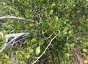 Cercocarpus montanus var. glaber
