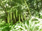 Bromus vulgaris