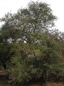 Ceanothus impressus var. nipomensis