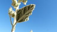 Sphaeralcea orcuttii