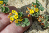Acmispon heermannii var. orbicularis
