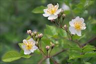 Rosa multiflora