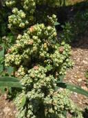 Chenopodium quinoa