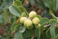 Prunus ilicifolia var. ilicifolia