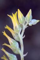 Dudleya abramsii ssp. calcicola