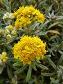 Eriophyllum staechadifolium