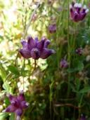Trifolium depauperatum
