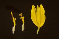 Verbesina encelioides var. exauriculata