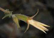 Mentzelia inyoensis