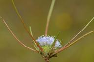 Navarretia myersii ssp. deminuta