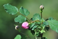 Rosa gymnocarpa var. serpentina