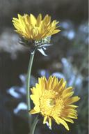 Enceliopsis covillei