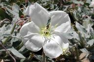Oenothera californica ssp. eurekensis