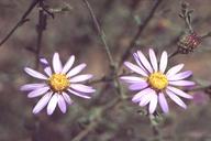 Dieteria canescens var. leucanthemifolia