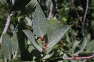 Salix eastwoodiae