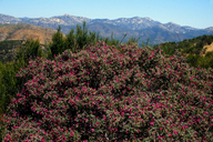 Pickeringia montana