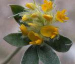 Lotus argophyllus