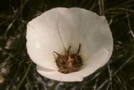 Calochortus excavatus