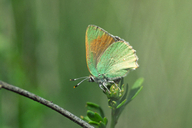 Perplexing Hairstreak