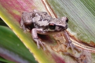 Bleating Tree Frog