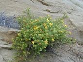 Hemizonia minthornii