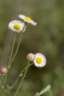 Erigeron multiceps