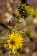 Common Tarweed