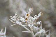 Tetradymia argyraea