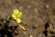 Chylismia claviformis ssp. cruciformis