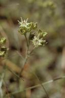 Horkelia tularensis
