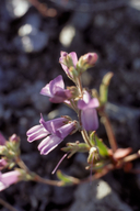 Collinsia greenei