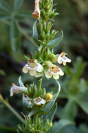 Penstemon deustus