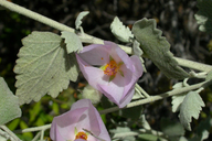 Malacothamnus jonesii