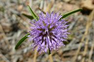 Monardella lanceolata