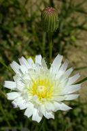 Malacothrix saxatilis var. commutata
