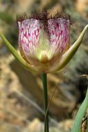 Calochortus weedii