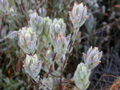 Cordylanthus mollis ssp. mollis