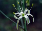 Chlorogalum pomeridianum