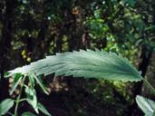 Urtica dioica ssp. holosericea