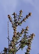 Ceanothus ophiochilus