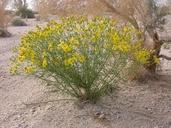 Senecio flaccidus var. monoensis