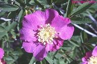 Rosa bridgesii