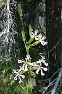 Silene occidentalis