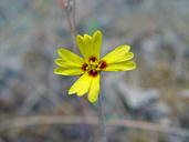 Madia gracilis