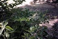 Thermopsis robusta